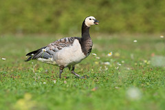 barnacle goose (leonardo manetti) Tags: toscana uccello bird nature red winter colours naturephotography field natural nikkor countryside green morning black stonechat erba barnacle goose d810