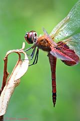 Carolina Saddlebags (Stan in FL) Tags: odonata dragonflies dragonfly tramea anusta nikon d500 tamron 100400mm wildlife insects florida sumter county carolina saddlebags
