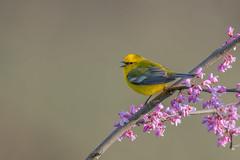 Blue wing Warbler (Joe Branco) Tags: summer spring nature nikond850 joebrancophotography wildlifephotography nikon bluewingwarbler green ohio