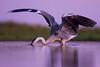 Purple dawn (Kristóf Diós) Tags: grey heron ardea cinerea purple dawn morng sunrise lights water bird nature wildlife photography photo photograph