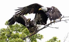 Bald Eagles: Juvenile and Adult....6O3A2435CR2A (dklaughman) Tags: baldeagle bombayhooknwr delaware