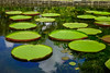Giant water lilies (Victoria Amazonica) (phuong.sg@gmail.com) Tags: amazon amazonian asia backdrop background beautiful beauty brazil circular exotic float floral forest garden green huge jungle lake large leaf lilly lily lotus monet natural nature outdoors pad park pattern petal plant plate platters pond rain reflection regia romance romantic round spring summer swamp texture tropical victoria vitoria water waterlily wetland