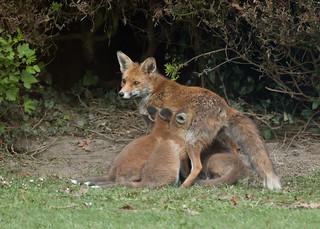 Fox family - Vulpes vulpes