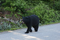OpalHiills00006 (jahNorr) Tags: summertrip 2012 animalswildlifebears canadaalbertajaspernationalparkmalignecanyonroad