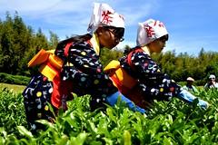 tea picking girls (anmindofu1) Tags: 2018 may nikon japan teapicking