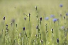 Promesse de bleuets * (Titole) Tags: cornflowers buds bud bokeh titole nicolefaton many field