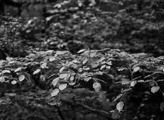 Beech Leaves (Hyons Wood) (Jonathan Carr) Tags: ancient woodland trees black white bw mediumformat rural northeast landscape acros ddx mamiya