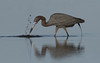 Little Blue Heron (Gary McHale) Tags: splash strike feeding fishing little blue heron fort myers florida fish coth5 ngc npc