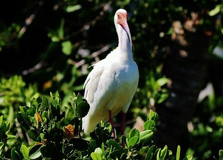 Adult White Ibis (Eudocimus albus)