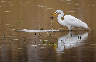 Great Egret!