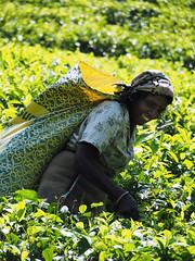 Woman tea picking, Riverston to Rattota, Sri Lanka (malithewildcat) Tags: teaplantation woman teapicking womanteapicking riverston srilanka teaplantationtrek centralprovince