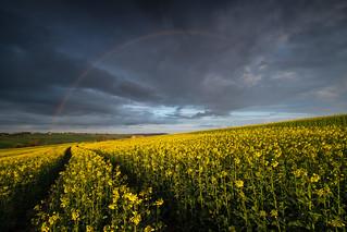 Rainbow rapeseed