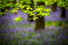 Beech Leaves in the Bluebell Woods (RCARCARCA) Tags: dockeywood blur mauve photoartistry woods beechtrees bluebells light leaves 70200l trees beech sunlight forest path dappled 5diii green blue footpath canon