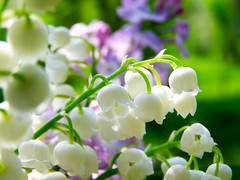 (Alin B.) Tags: alinbrotea nature spring april flower may margaritar scent lilyofthevalley