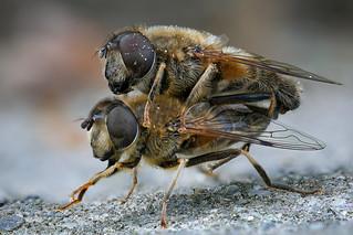 Zwei Gemeine Keilfleckschwebfliegen (Eristalis pertinax) bei der Paarung