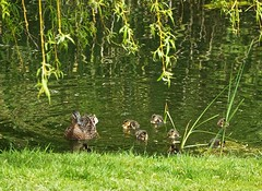 First Day Out (Deepgreen2009) Tags: ducks mallard chicks new life pond garden first day hatched young fowl home