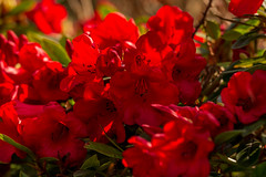 _DSC0021  - Red (SWJuk) Tags: burnley england unitedkingdom swjuk uk gb britain lancashire home towneley towneleyhall plant flower bloom rhododendron red 2018 apr2018 spring nikon d7100 nikond7100 nikkor70200mm rawnef lightroomclassiccc