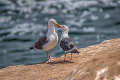 Bill and Coo (Michael F. Nyiri) Tags: birds seagulls lajollacove california southerncalifornia beach ocean