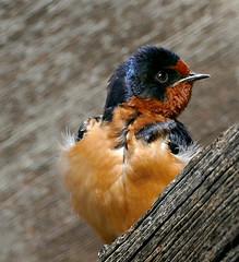 Barn Swallow (Colorado Sands on autumn break) Tags: barnswallow bird colorado sandraleidholdt coloradowildlife lakewood usa swallow hirundorustica
