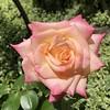 The Rose (Hideki Iba) Tags: osaka japan iphone rose bokeh 花 薔薇 バラ 庭 庭園 屋外 iphone8