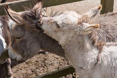 P1250233_edit (The Oldhams) Tags: cornwall donkeys flickadonkeysanctuary