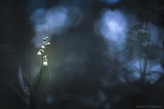 Muguet de la forêt de Rambouillet (Hexilene) Tags: macro macrophotographie nikon nikond750 sigma sigma105mm foret bokey
