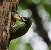Coppersmith barbet (polen2003) Tags: bird green nature mother wildlife color beaty