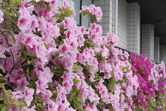 Tsutsuji,Bukkyo University,Kyoto (yopparainokobito) Tags: tsutsuji ツツジ 躑躅 azalea rhododendronl kyoto 京都 bukkyouniversity 佛教大学 仏教大学 eosm3 eos m3