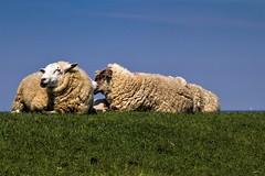 Schafe auf dem Deich (Fritz Zachow) Tags: schafe deich himmel nordsee westerhever sand meer wasser gras
