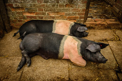 Bacon On Tomorrows' Breakfast Menue (Harry2010) Tags: england pig pen annehathawayscottage hampshire