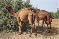 camels love the Arganfruits (mhobl) Tags: argan souss maroc morocco camels dromedar weide animals