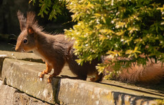 Red squirrel (xDigital-Dreamsx) Tags: nature forest woods woodland animal red wildlife scotland wild country rural shadows springtime sunshine coth coth5