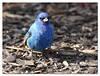 Indigo Bunting (male) (Redtail10025) Tags: indigo bunting male spring migration birds wildlife nature nyc central park