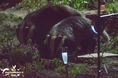 Nightly Badger Visitors (SLHPhotography1990) Tags: garden photos spring colour isleofwight england sun sunshine heatwave flowers plants love night visitor nocturnal british wildlife wild animal mammal native badger