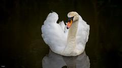 Swan posing in the water. (Stevox-1) Tags: swan birds canon canonef70200f4l a7m2 metabones metabonesiv water