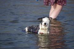 Not impressed (Sundornvic) Tags: luna puppy collie bluemerle dog pet pets sea seaside beach water sand stones tywyn wales welsh