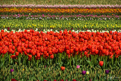 Tulips of the Valley Festival (SonjaPetersonPh♡tography) Tags: tulips tulip tulipfestival tulipsofthevalleyfestival tulipsofthevalley chilliwack bc britishcolumbia scenic scenery landscape flowers tulipfields