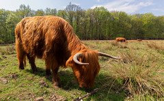 Highland Cow (Wim Boon (wimzilver)) Tags: wimboon veluwezoom veluwe koe canoneos5dmarkiii canonef1635mmf4lisusm holland nederland netherlands