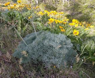 Columbia Gorge desert-parsley