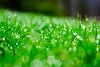 Fresh (Nicholas Erwin) Tags: morning dew raindrops rain waterdrop nature bokeh depthoffield dof grass green macro closeup wet spring world fujifilmxt2 fujixt2 fujifilm xf60mmf24rmacro xf60 fujixf6024 6024 fujifilmmacro waterbury vermont vt unitedstatesofamerica usa bright fav10 fav25 fav50