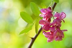 ハリエンジュ Locust tree (takapata) Tags: sony sel90m28g ilce7m2 macro nature flower
