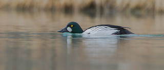 Garrot à oeil d'Or  -  Common Goldeneye