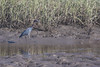 Little Blue Heron (J.B. Churchill) Tags: birds duttonislandpreserve duval florida heronsegrets lbhe littleblueheron places taxonomy