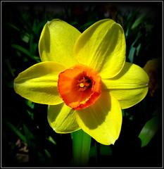 Natural Wonder (dimaruss34) Tags: newyork brooklyn dmitriyfomenko image flower daffodil