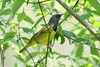 Mourning Warbler (Tommy Quarles) Tags: mourning warbler lexington arboretum fayette county kentucky ky canon 7d mark ii