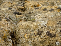 Agrigento wildlife (stillunusual) Tags: agrigento valleyofthetemples valledeitempli vaddidilitempri agrigentum akragas temple templeofheralacinia templeofhera templeofjunolacinia templeofjuno templed greektemple dorictemple sicily italy lizard reptile lichen lichens holiday vacation travel travelphotography travelphoto travelphotograph 2018