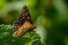 Schlüsselblumen-Würfelfalter (painterman59) Tags: sittig sitzend blatt schmetterling butterfly flower würfelfalter insekt wildlife sony sonyalpha7iii sonyalpha macro