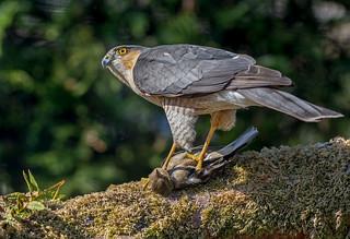 JWL3135  Sparrowhawk...