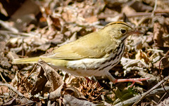 Ovenbird (tresed47) Tags: 2018 201805may 20180503bombayhookbirds birds bombayhook canon7d content delaware folder may ovenbird peterscamera petersphotos places season spring takenby us warbler