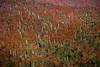 Otoño entre Araucarias (josemcalvol) Tags: trees forest araucariaaraucana hill red orange autumn eveninglight conguillio nationalpark patagonia